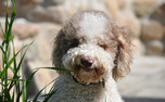 Truffle dogs, such as the lagotto romagnolo pictured above, helped the researchers locate the pecan truffles.