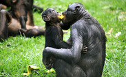 A recent Duke study found that bonobos share food with strangers, showing possible signs of altruism in one of humans' closest relatives.