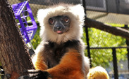 Romeo, the last diademed sifaka to be housed in captivity, died, Jan. 21