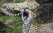 This photo of a yawning cheetah is a submission to the Duke Arts Festival, happening this weekend.