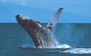Humpback whales are known for singing during mating season, but a Duke study recently found that the whales also sing while feeding.