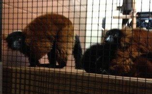 A red-ruffed lemur, similar to the ones pictured above, escaped from the Duke Lemur Center Friday.