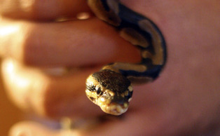 Buddah, a ball python, lives with its owner, senior Michael Rich,* in his Central Campus apartment.