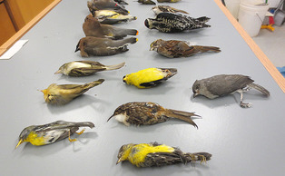 Woodpeckers, brown creepers, warblers, cedar waxwings and hummingbirds are among those which died after colliding with Duke windows.