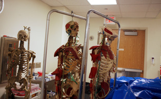 Anatomy students utilize skeletons, some of which are made out of real bone, to supplement their lessons.