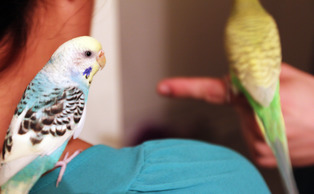 Archie (blue) and Wasabi (green) are two parakeets who lived on West and Central Campuses with Towerview Co-Editor in Chief Ashley Mooney. The birds now live with her off campus.