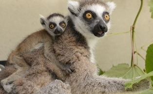 "Two new baby ring-tailed lemurs at the Duke Lemur Center were recently born and named after King Julien XIII, main character of DreamWorks' ""All Hail King Julien."" 