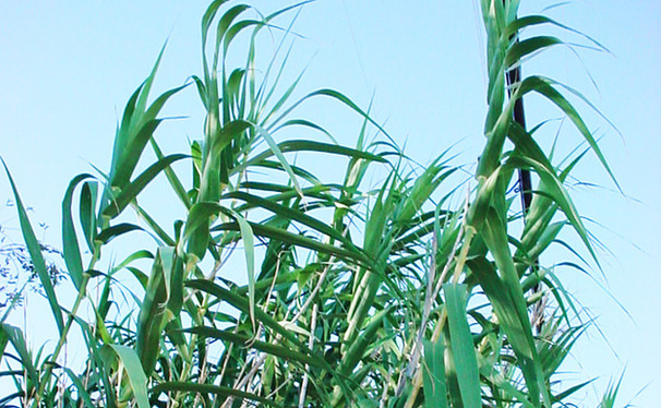 A local nonprofit is considering using a species of giant cane to reduce reliance on oil, but some are concerned that the plant will be as invasive as kudzu.