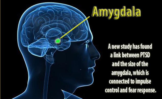A new Duke study has found a link between post-traumatic stress disorder and a smaller amygdala, which controls fear and impulse in the brain.