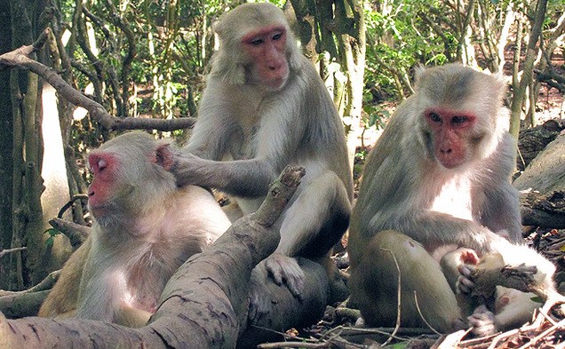Duke researchers have found that rhesus macaques exhibit signs of friendship similar to humans.